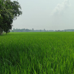 25 Acres Agricultural Land for Sale At Phillaur (2)